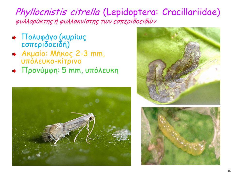 Phyllocnistis citrella (Lepidoptera: Cracillariidae) φυλλορύκτης ή φυλλοκνίστης των εσπεριδοειδών Πολυφάγο (κυρίως εσπεριδοειδή) Ακμαίο: Μήκος 2-3 mm, υπόλευκο-κίτρινο Προνύμφη: 5 mm, υπόλευκη 16