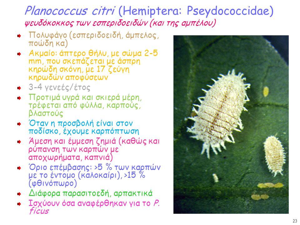 Planococcus citri (Hemiptera: Pseydococcidae) ψευδόκοκκος των εσπεριδοειδών (και της αμπέλου) Πολυφάγο (εσπεριδοειδή, άμπελος, ποώδη κα) Ακμαίο: άπτερο θήλυ, με σώμα 2-5 mm, που σκεπάζεται με άσπρη κηρώδη σκόνη, με 17 ζεύγη κηρωδών αποφύσεων 3-4 γενεές/έτος Προτιμά υγρά και σκιερά μέρη, τρέφεται από φύλλα, καρπούς, βλαστούς Όταν η προσβολή είναι στον ποδίσκο, έχουμε καρπόπτωση Άμεση και έμμεση ζημιά (καθώς και ρύπανση των καρπών με αποχωρήματα, καπνιά) Όριο επέμβασης: >5 % των καρπών με το έντομο (καλοκαίρι), >15 % (φθινόπωρο) Διάφορα παρασιτοεδή, αρπακτικά Ισχύουν όσα αναφέρθηκαν για το P.