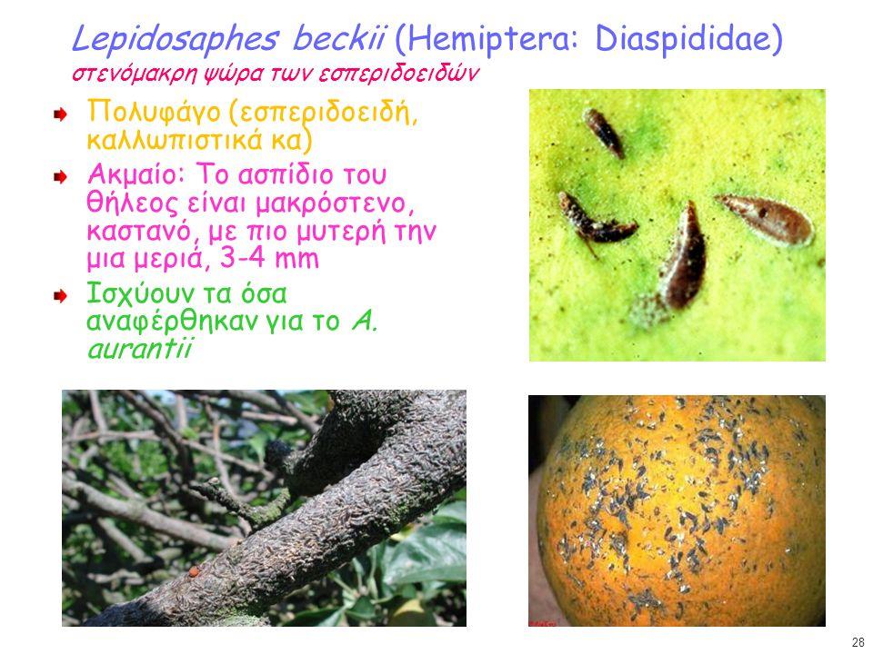 Lepidosaphes beckii (Hemiptera: Diaspididae) στενόμακρη ψώρα των εσπεριδοειδών Πολυφάγο (εσπεριδοειδή, καλλωπιστικά κα) Ακμαίο: Το ασπίδιο του θήλεος είναι μακρόστενο, καστανό, με πιο μυτερή την μια μεριά, 3-4 mm Ισχύουν τα όσα αναφέρθηκαν για το Α.