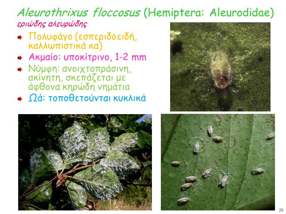Aleurothrixus floccosus (Hemiptera: Aleurodidae) εριώδης αλευρώδης Πολυφάγο (εσπεριδοειδή, καλλωπιστικά κα) Ακμαίο: υποκίτρινο, 1-2 mm Νύμφη: ανοιχτοπράσινη, ακίνητη, σκεπάζεται με άφθονα κηρώδη νημάτια Ωά: τοποθετούνται κυκλικά 29