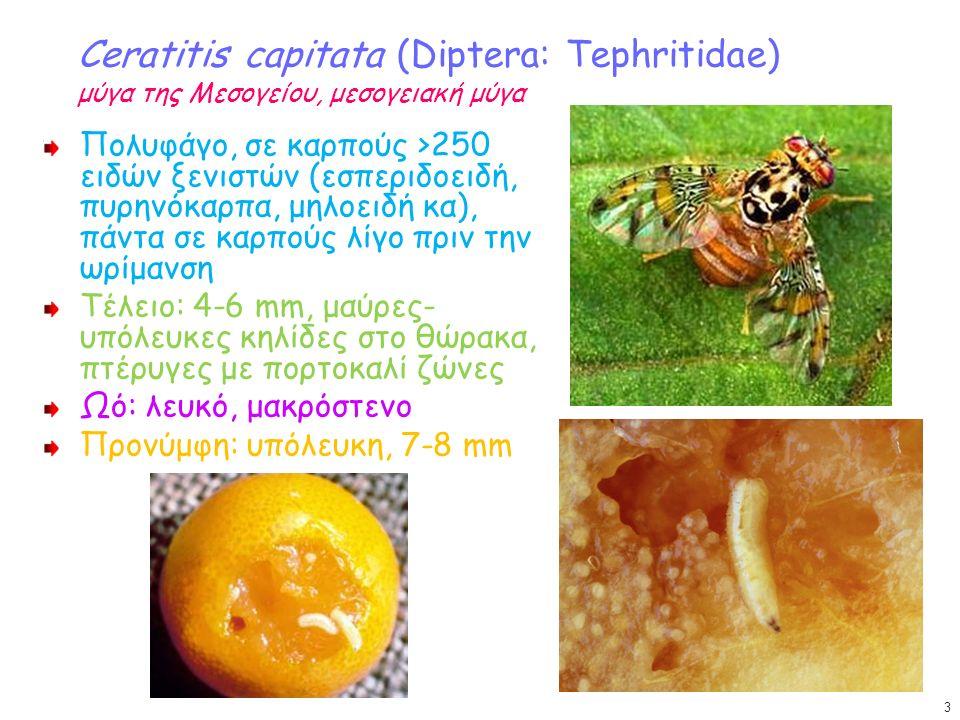 Ceratitis capitata (Diptera: Tephritidae) μύγα της Μεσογείου, μεσογειακή μύγα Πολυφάγο, σε καρπούς >250 ειδών ξενιστών (εσπεριδοειδή, πυρηνόκαρπα, μηλοειδή κα), πάντα σε καρπούς λίγο πριν την ωρίμανση Τέλειο: 4-6 mm, μαύρες- υπόλευκες κηλίδες στο θώρακα, πτέρυγες με πορτοκαλί ζώνες Ωό: λευκό, μακρόστενο Προνύμφη: υπόλευκη, 7-8 mm 3