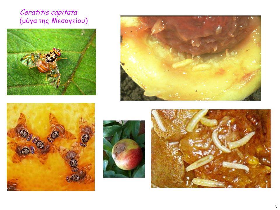 Ceratitis capitata (μύγα της Μεσογείου) Ceratitis capitata (μύγα της Μεσογείου) 8