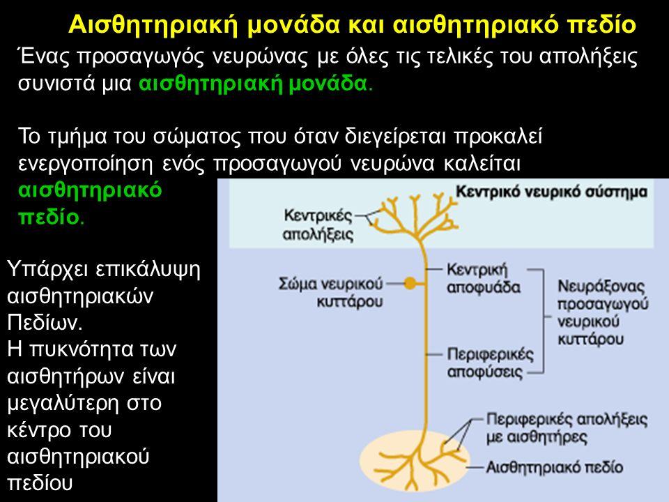 Ένας προσαγωγός νευρώνας με όλες τις τελικές του απολήξεις συνιστά μια αισθητηριακή μονάδα. Το τμήμα του σώματος που όταν διεγείρεται προκαλεί ενεργοπ