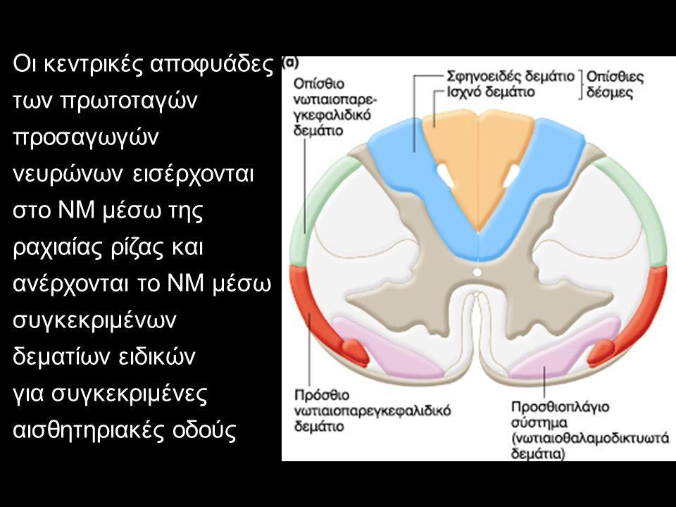 Οι κεντρικές αποφυάδες των πρωτοταγών προσαγωγών νευρώνων εισέρχονται στο ΝΜ μέσω της ραχιαίας ρίζας και ανέρχονται το ΝΜ μέσω συγκεκριμένων δεματίων