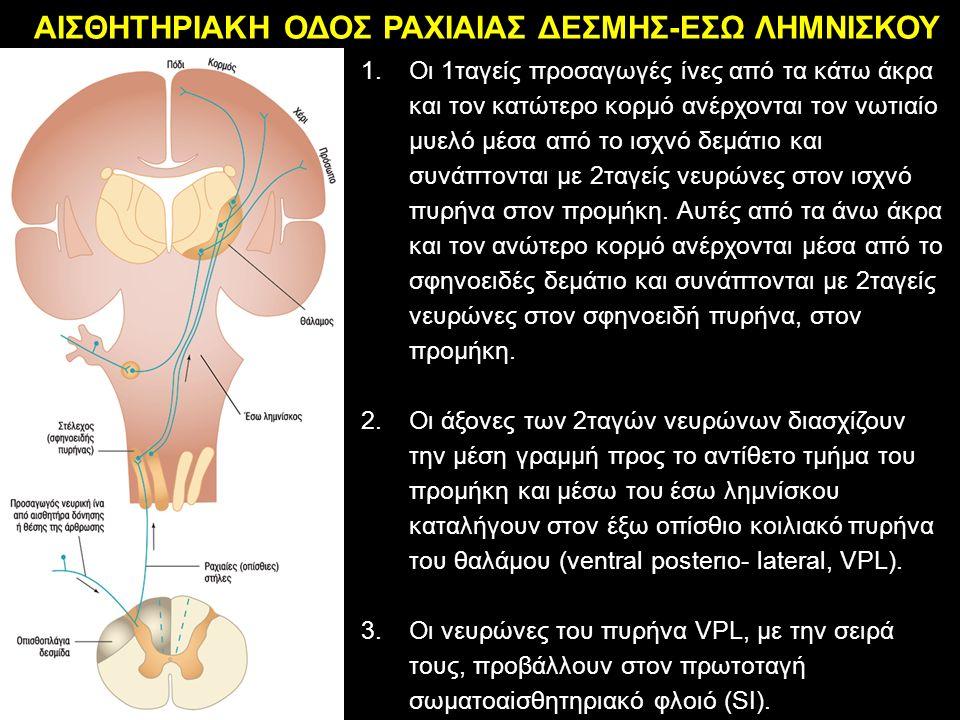 ΑΙΣΘΗΤΗΡΙΑΚΗ ΟΔΟΣ ΡΑΧΙΑΙΑΣ ΔΕΣΜΗΣ-ΕΣΩ ΛΗΜΝΙΣΚΟΥ 1.Οι 1ταγείς προσαγωγές ίνες από τα κάτω άκρα και τον κατώτερο κορμό ανέρχονται τον νωτιαίο μυελό μέσα