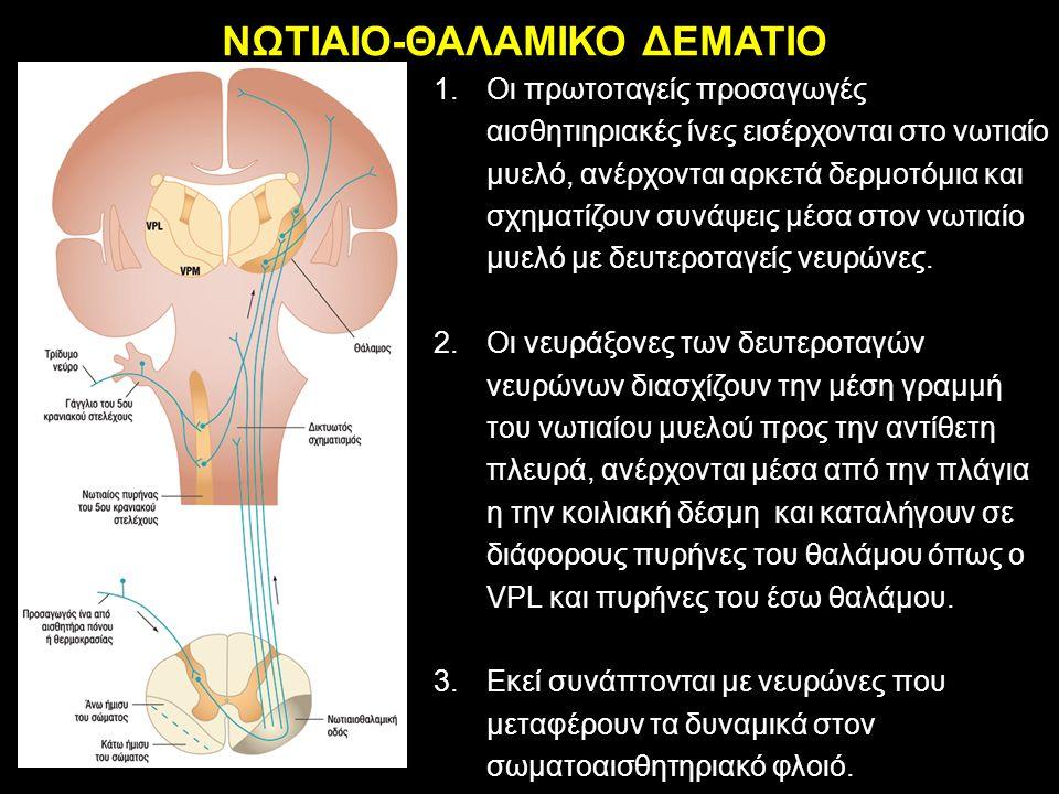 ΝΩΤΙΑΙΟ-ΘΑΛΑΜΙΚΟ ΔΕΜΑΤΙΟ 1.Οι πρωτοταγείς προσαγωγές αισθητιηριακές ίνες εισέρχονται στο νωτιαίο μυελό, ανέρχονται αρκετά δερμοτόμια και σχηματίζουν σ