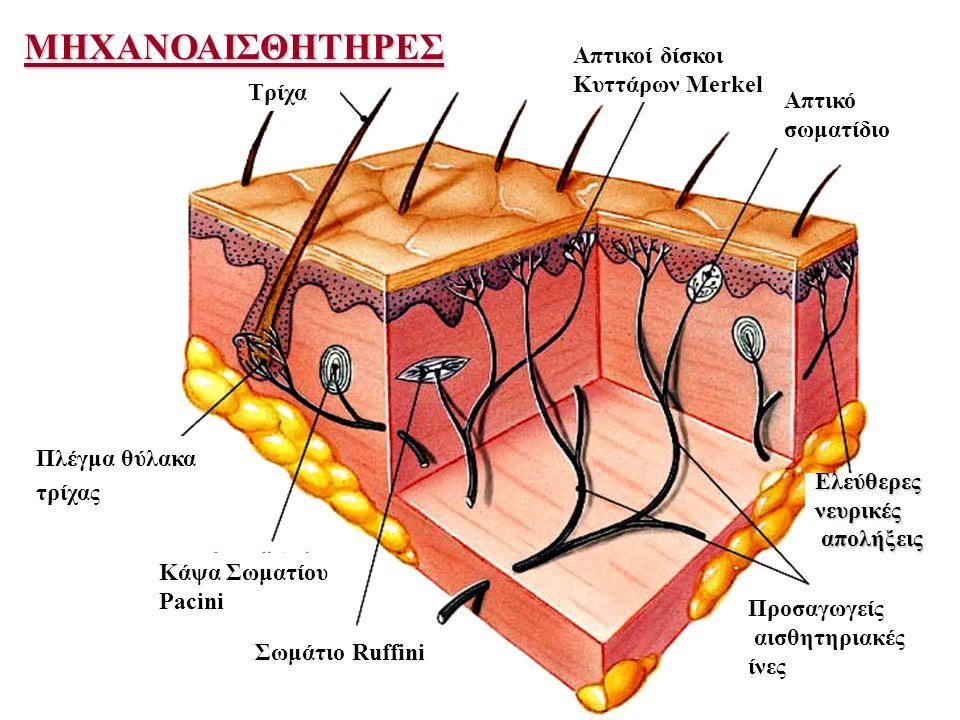 Απτικό σωματίδιο Προσαγωγείς αισθητηριακές ίνες Πλέγμα θύλακα τρίχας Κάψα Σωματίου Pacini Απτικοί δίσκοι Κυττάρων Merkel Σωμάτιο Ruffini Τρίχα Ελεύθερ