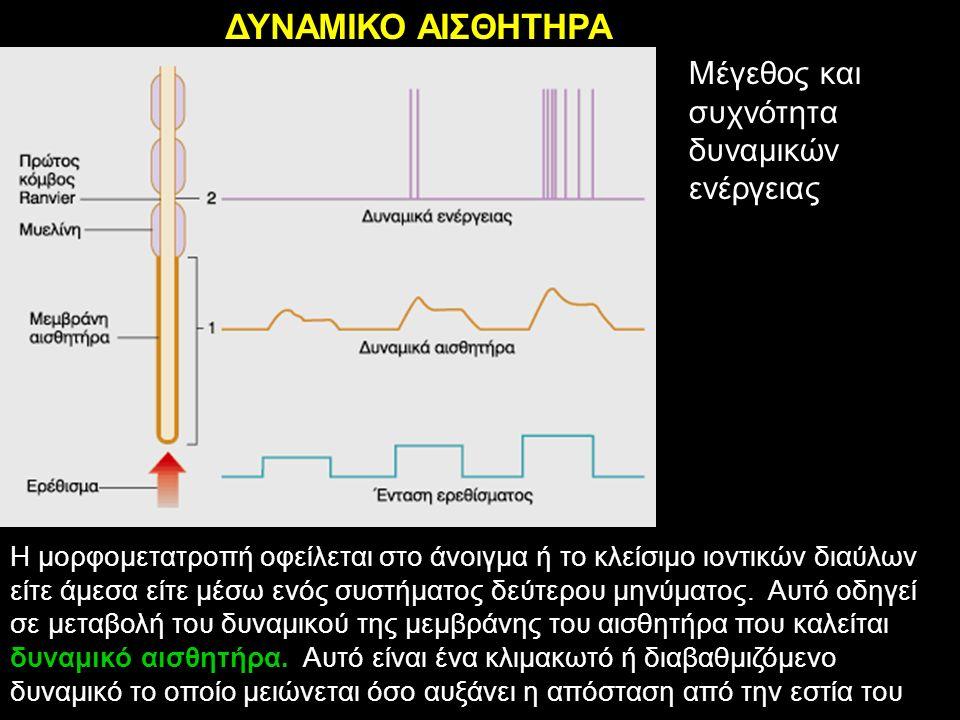 ΔΥΝΑΜΙΚΟ ΑΙΣΘΗΤΗΡΑ Η μορφομετατροπή οφείλεται στο άνοιγμα ή το κλείσιμο ιοντικών διαύλων είτε άμεσα είτε μέσω ενός συστήματος δεύτερου μηνύματος. Αυτό