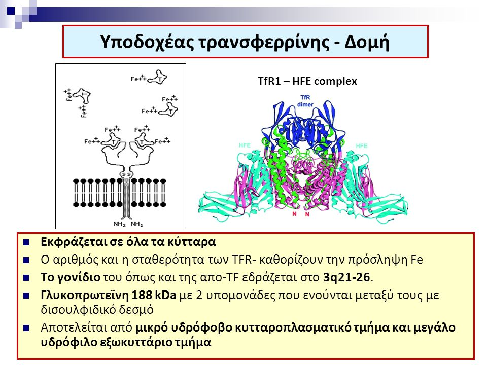 Υποδοχέας τρανσφερρίνης - Δομή Εκφράζεται σε όλα τα κύτταρα Ο αριθμός και η σταθερότητα των ΤFR- καθορίζουν την πρόσληψη Fe Το γονίδιο του όπως και τη