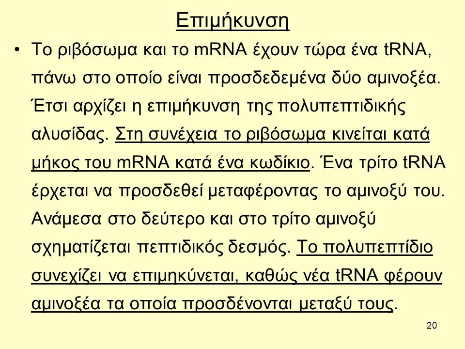 20 Επιμήκυνση Το ριβόσωμα και το mRNA έχουν τώρα ένα tRNA, πάνω στο οποίο είναι προσδεδεμένα δύο αμινοξέα.