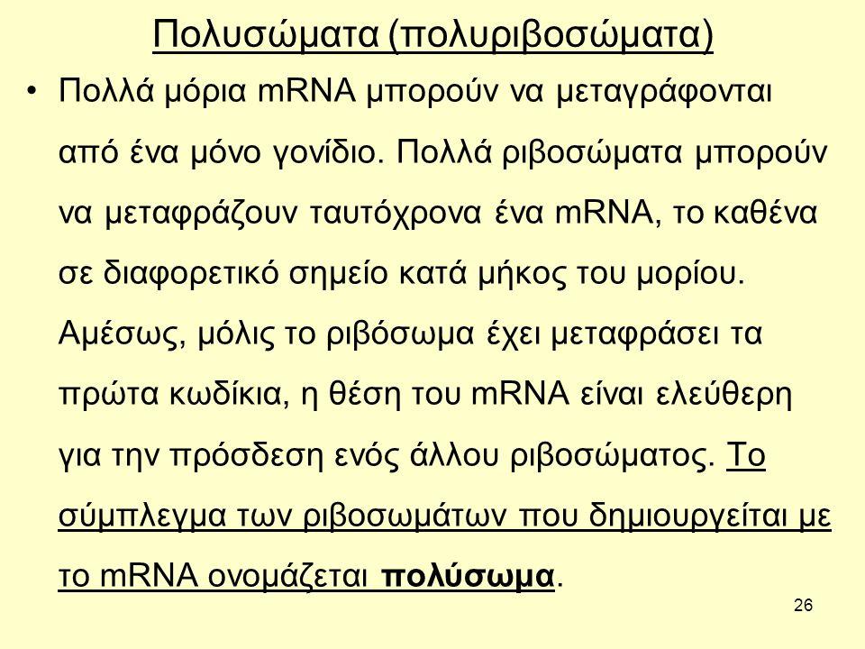 26 Πολυσώματα (πολυριβοσώματα) Πολλά μόρια mRNA μπορούν να μεταγράφονται από ένα μόνο γονίδιο.