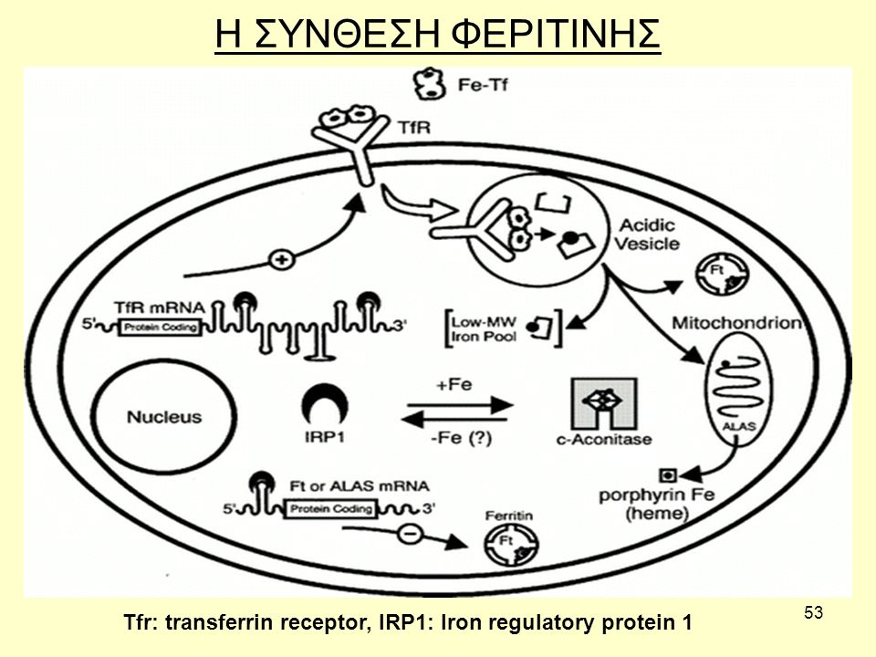 53 H ΣΥΝΘΕΣΗ ΦΕΡΙΤΙΝΗΣ Tfr: transferrin receptor, IRP1: Iron regulatory protein 1