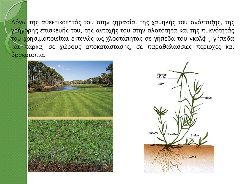Λόγω της αθεκτικότητάς του στην ξηρασία, της χαμηλής του ανάπτυξης, της γρήγορης επισκευής του, της αντοχής του στην αλατότητα και της πυκνότητάς του χρησιμοποιείται εκτενώς ως χλοοτάπητας σε γήπεδα του γκολφ, γήπεδα και πάρκα, σε χώρους αποκατάστασης, σε παραθαλάσσιες περιοχές και βοσκοτόπια.