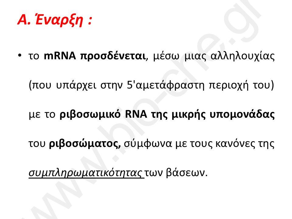 Α. Έναρξη : το mRNA προσδένεται, μέσω μιας αλληλουχίας (που υπάρχει στην 5'αμετάφραστη περιοχή του) με το ριβοσωμικό RNA της μικρής υπομονάδας του ριβ