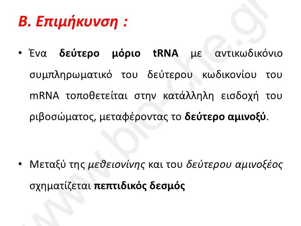 Β. Επιμήκυνση : Ένα δεύτερο μόριο tRNA με αντικωδικόνιο συμπληρωματικό του δεύτερου κωδικονίου του mRNA τοποθετείται στην κατάλληλη εισδοχή του ριβοσώ