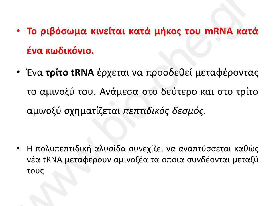 Το ριβόσωμα κινείται κατά μήκος του mRNA κατά ένα κωδικόνιο.