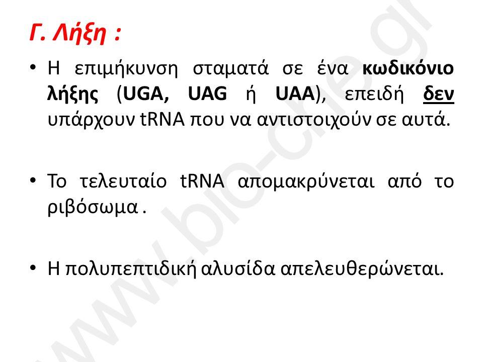 Γ. Λήξη : Η επιμήκυνση σταματά σε ένα κωδικόνιο λήξης (UGA, UAG ή UAA), επειδή δεν υπάρχουν tRNA που να αντιστοιχούν σε αυτά. Το τελευταίο tRNA απομακ