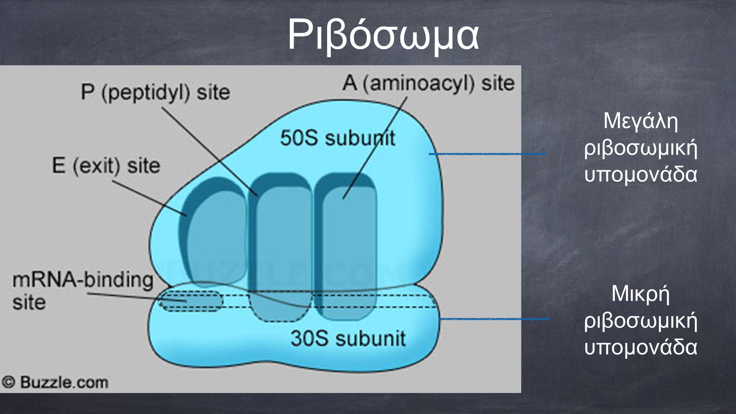Ριβόσωμα Μικρή ριβοσωμική υπομονάδα Μεγάλη ριβοσωμική υπομονάδα