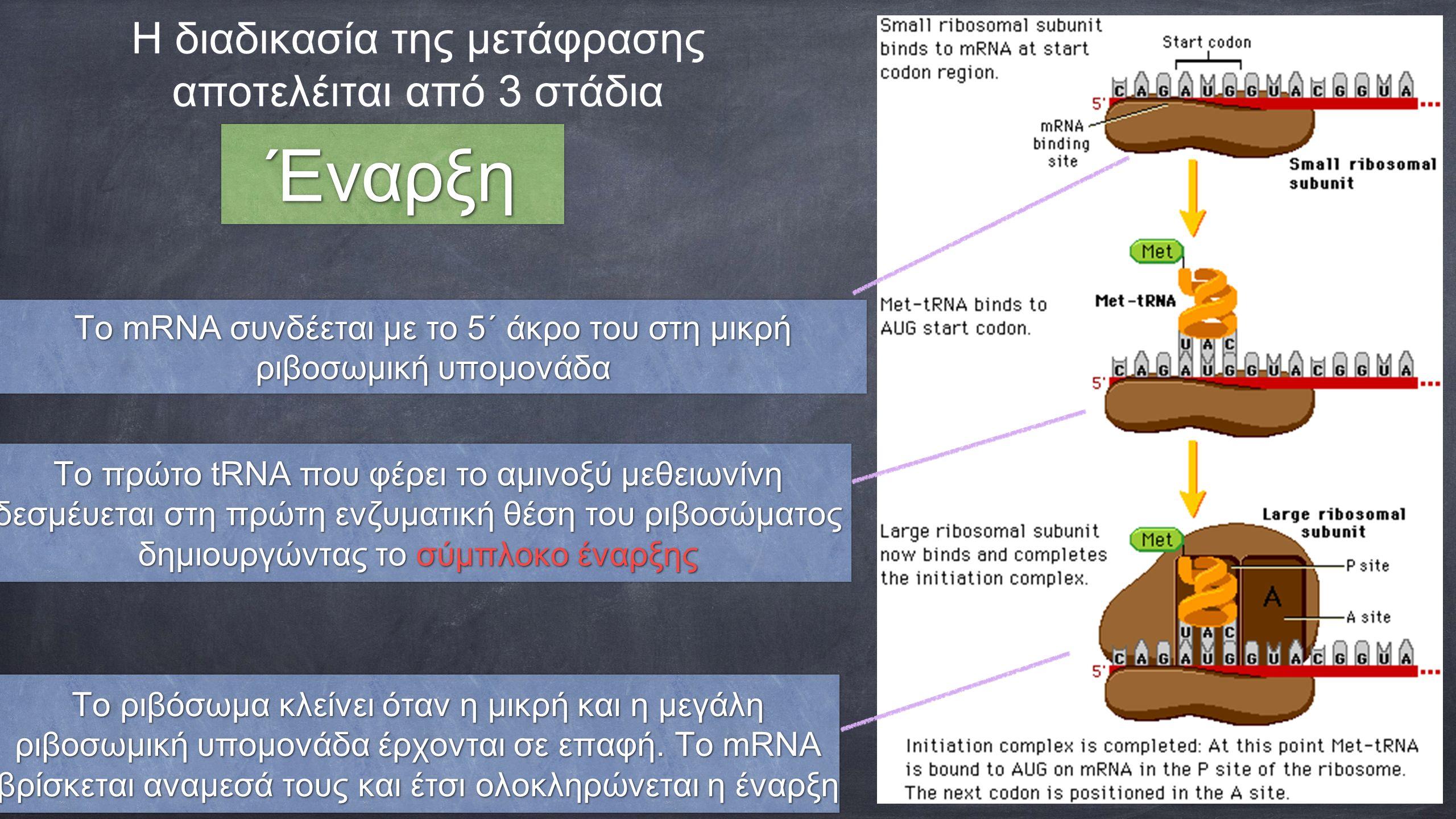 Η διαδικασία της μετάφρασης αποτελέιται από 3 στάδια Το mRNA συνδέεται με το 5´ άκρο του στη μικρή ριβοσωμική υπομονάδα Το mRNA συνδέεται με το 5´ άκρ