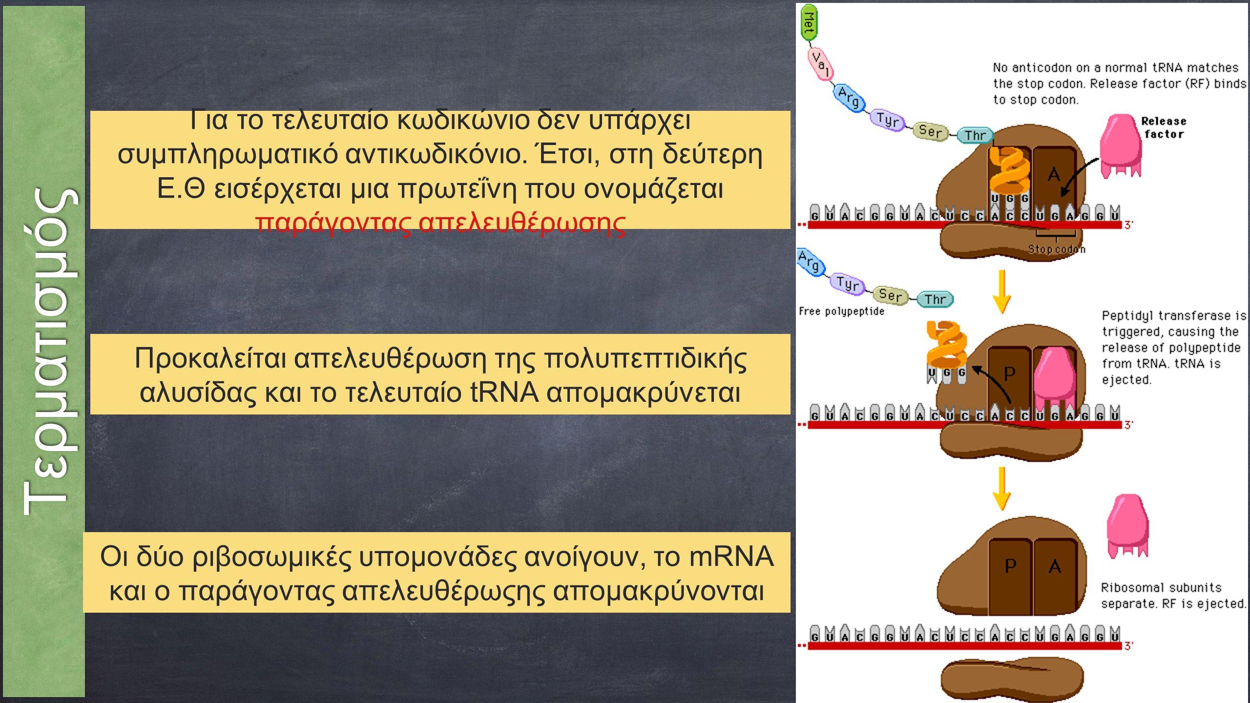 ΤερματισμόςΤερματισμός Οι δύο ριβοσωμικές υπομονάδες ανοίγουν, το mRNA και ο παράγοντας απελευθέρωςης απομακρύνονται Προκαλείται απελευθέρωση της πολυπεπτιδικής αλυσίδας και το τελευταίο tRNA απομακρύνεται Για το τελευταίο κωδικώνιο δεν υπάρχει συμπληρωματικό αντικωδικόνιο.