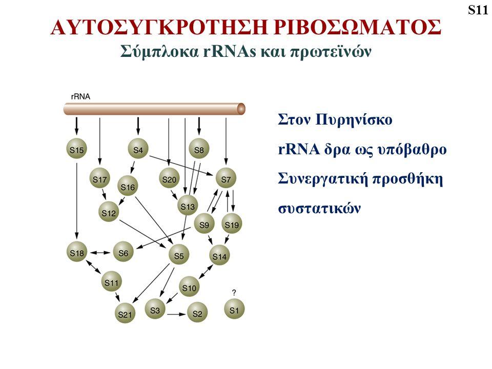 ΑΥΤΟΣΥΓΚΡΟΤΗΣΗ ΡΙΒΟΣΩΜΑΤΟΣ Σύμπλοκα rRNAs και πρωτεϊνών S11 Στον Πυρηνίσκο rRNA δρα ως υπόβαθρο Συνεργατική προσθήκη συστατικών