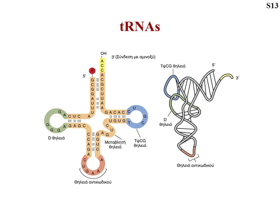 tRNAs S13