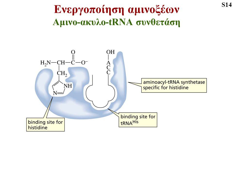Ενεργοποίηση αμινοξέων Αμινο-ακυλο-tRNA συνθετάση S14