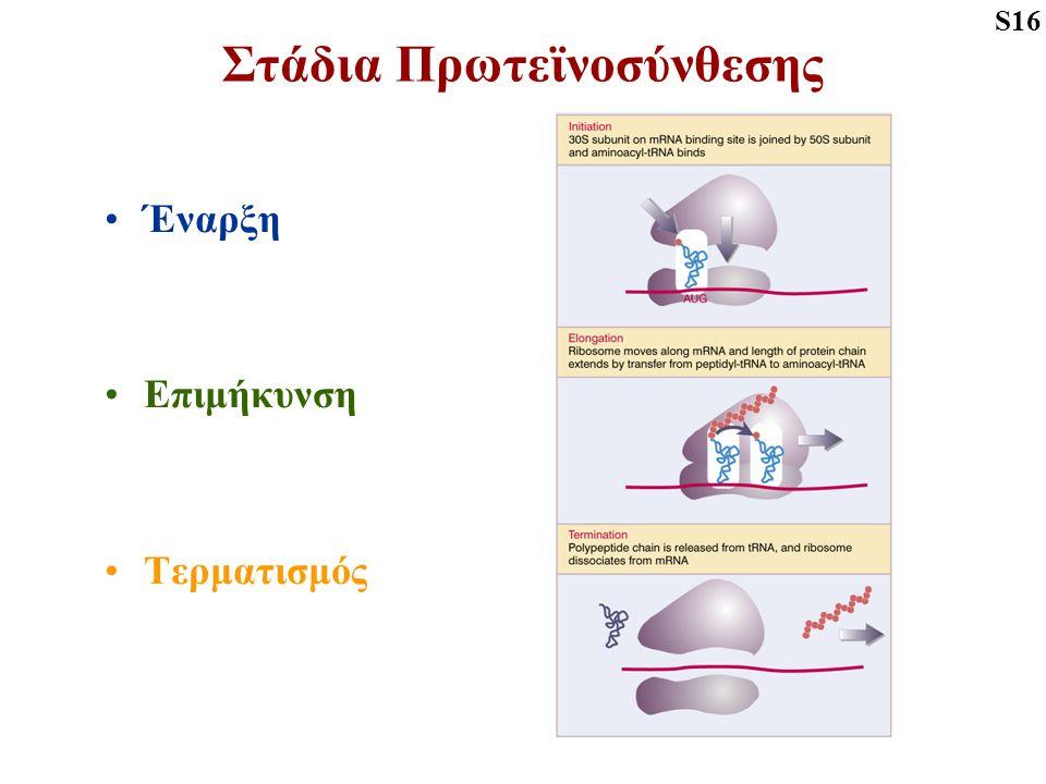 Στάδια Πρωτεϊνοσύνθεσης Έναρξη Επιμήκυνση Τερματισμός S16