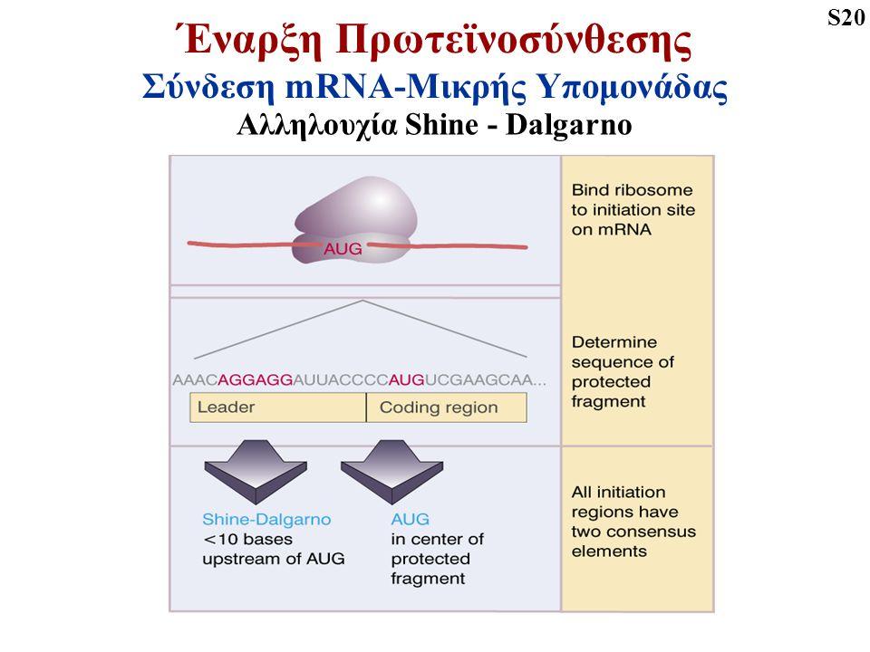 Έναρξη Πρωτεϊνοσύνθεσης Σύνδεση mRNA-Μικρής Υπομονάδας Αλληλουχία Shine - Dalgarno S20