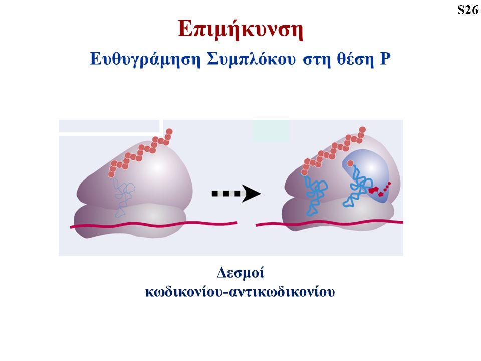 Επιμήκυνση Ευθυγράμηση Συμπλόκου στη θέση Ρ S26 Δεσμοί κωδικονίου-αντικωδικονίου