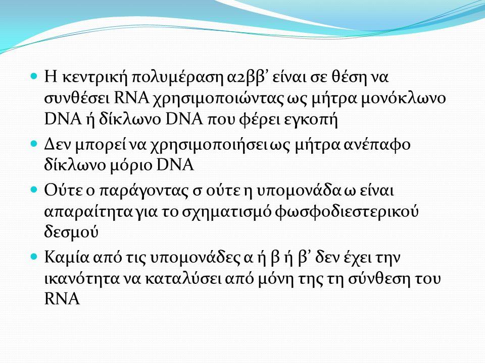 Η κεντρική πολυμέραση α2ββ' είναι σε θέση να συνθέσει RNA χρησιμοποιώντας ως μήτρα μονόκλωνο DNA ή δίκλωνο DNA που φέρει εγκοπή Δεν μπορεί να χρησιμοποιήσει ως μήτρα ανέπαφο δίκλωνο μόριο DNA Ούτε ο παράγοντας σ ούτε η υπομονάδα ω είναι απαραίτητα για το σχηματισμό φωσφοδιεστερικού δεσμού Καμία από τις υπομονάδες α ή β ή β' δεν έχει την ικανότητα να καταλύσει από μόνη της τη σύνθεση του RNA