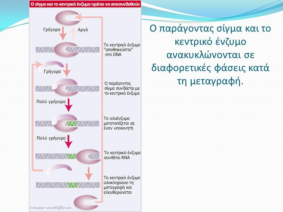 Ο παράγοντας σίγμα και το κεντρικό ένζυμο ανακυκλώνονται σε διαφορετικές φάσεις κατά τη μεταγραφή.