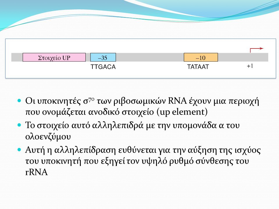 Οι υποκινητές σ 70 των ριβοσωμικών RNA έχουν μια περιοχή που ονομάζεται ανοδικό στοιχείο (up element) Το στοιχείο αυτό αλληλεπιδρά με την υπομονάδα α του ολοενζύμου Αυτή η αλληλεπίδραση ευθύνεται για την αύξηση της ισχύος του υποκινητή που εξηγεί τον υψηλό ρυθμό σύνθεσης του rRNA