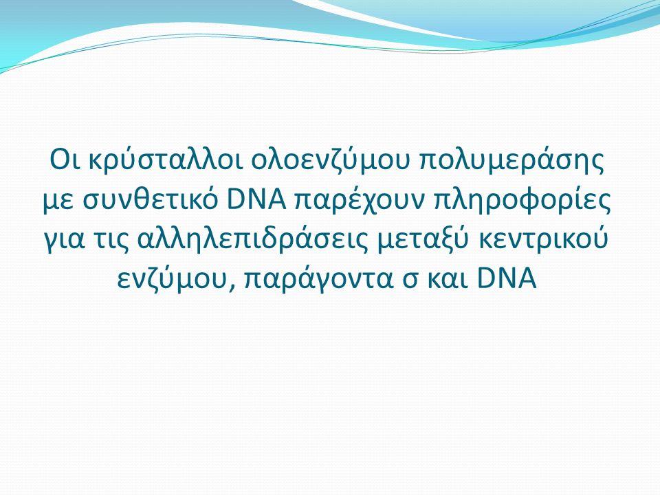 Οι κρύσταλλοι ολοενζύμου πολυμεράσης με συνθετικό DNA παρέχουν πληροφορίες για τις αλληλεπιδράσεις μεταξύ κεντρικού ενζύμου, παράγοντα σ και DNA