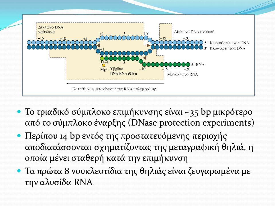 Το τριαδικό σύμπλοκο επιμήκυνσης είναι ~35 bp μικρότερο από το σύμπλοκο έναρξης (DNase protection experiments) Περίπου 14 bp εντός της προστατευόμενης περιοχής αποδιατάσσονται σχηματίζοντας της μεταγραφική θηλιά, η οποία μένει σταθερή κατά την επιμήκυνση Τα πρώτα 8 νουκλεοτίδια της θηλιάς είναι ζευγαρωμένα με την αλυσίδα RNA
