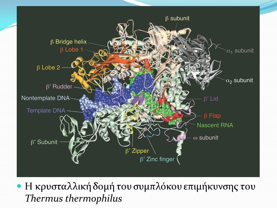 Η κρυσταλλική δομή του συμπλόκου επιμήκυνσης του Thermus thermophilus