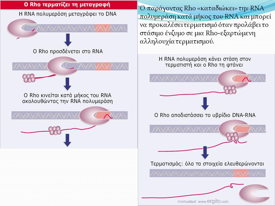 Ο παράγοντας Rho «καταδιώκει» την RNA πολυμεράση κατά μήκος του RNA και μπορεί να προκαλέσει τερματισμό όταν προλάβει το στάσιμο ένζυμο σε μια Rho-εξαρτώμενη αλληλουχία τερματισμού.