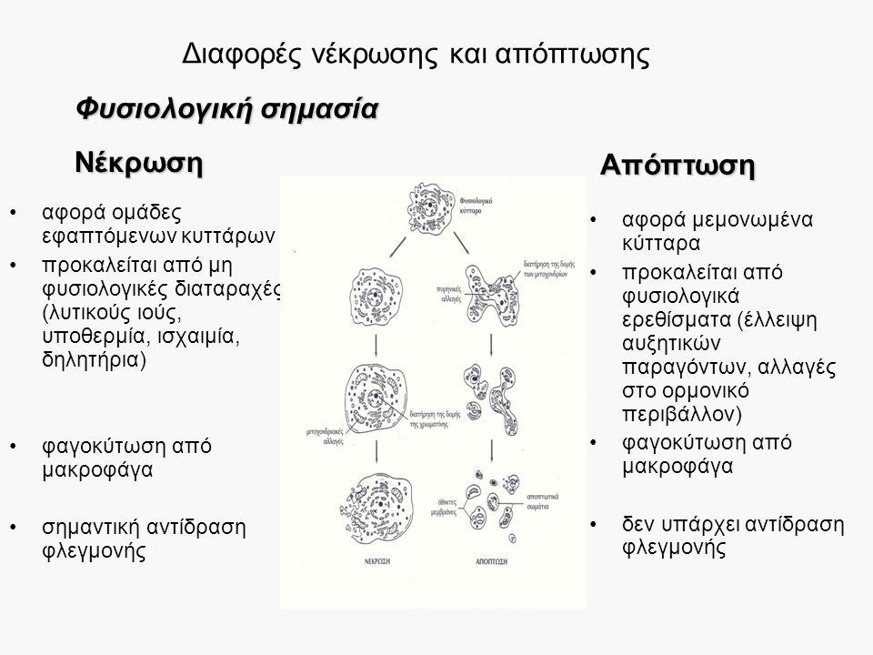 Διαφορές νέκρωσης και απόπτωσης αφορά ομάδες εφαπτόμενων κυττάρων προκαλείται από μη φυσιολογικές διαταραχές (λυτικούς ιούς, υποθερμία, ισχαιμία, δηλητήρια) φαγοκύτωση από μακροφάγα σημαντική αντίδραση φλεγμονής αφορά μεμονωμένα κύτταρα προκαλείται από φυσιολογικά ερεθίσματα (έλλειψη αυξητικών παραγόντων, αλλαγές στο ορμονικό περιβάλλον) φαγοκύτωση από μακροφάγα δεν υπάρχει αντίδραση φλεγμονής Φυσιολογική σημασία Νέκρωση Απόπτωση