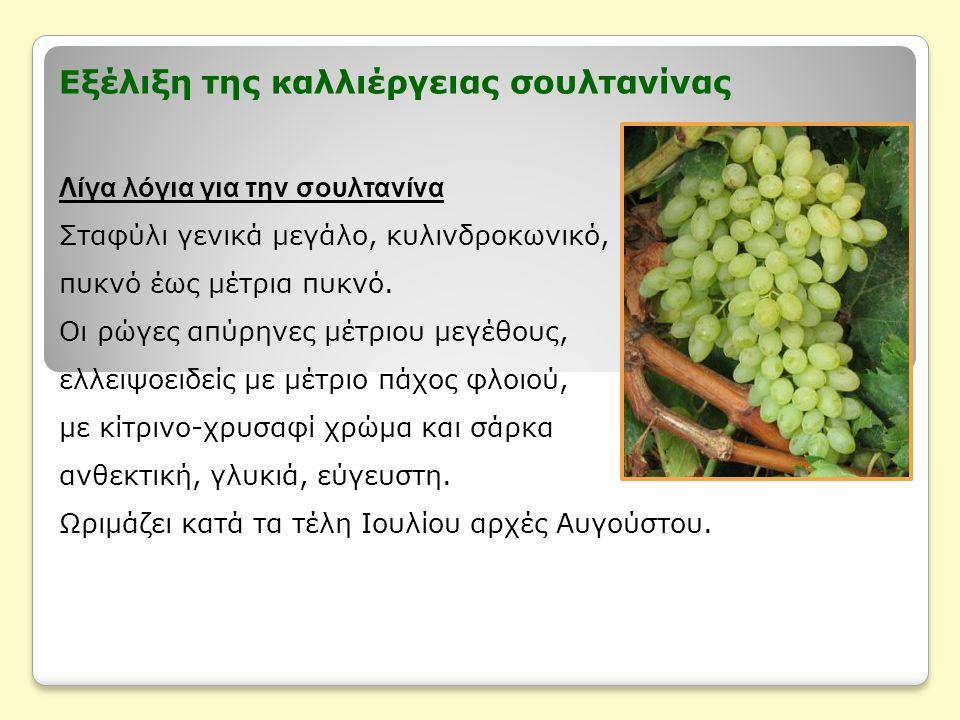 Εξέλιξη της καλλιέργειας σουλτανίνας Λίγα λόγια για την σουλτανίνα Σταφύλι γενικά μεγάλο, κυλινδροκωνικό, πυκνό έως μέτρια πυκνό.