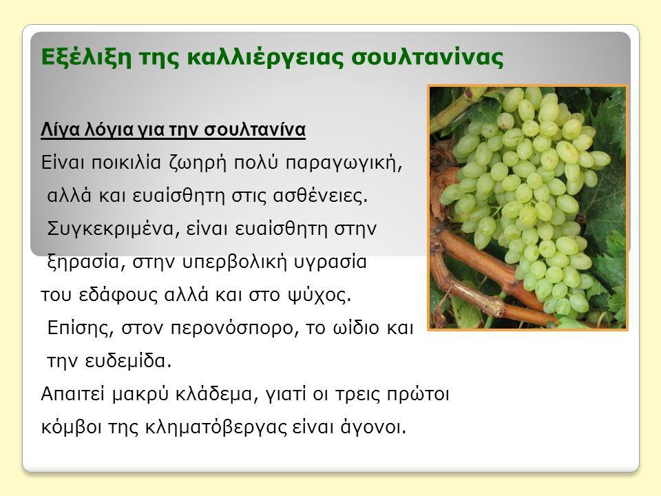 Εξέλιξη της καλλιέργειας σουλτανίνας Λίγα λόγια για την σουλτανίνα Είναι ποικιλία ζωηρή πολύ παραγωγική, αλλά και ευαίσθητη στις ασθένειες.