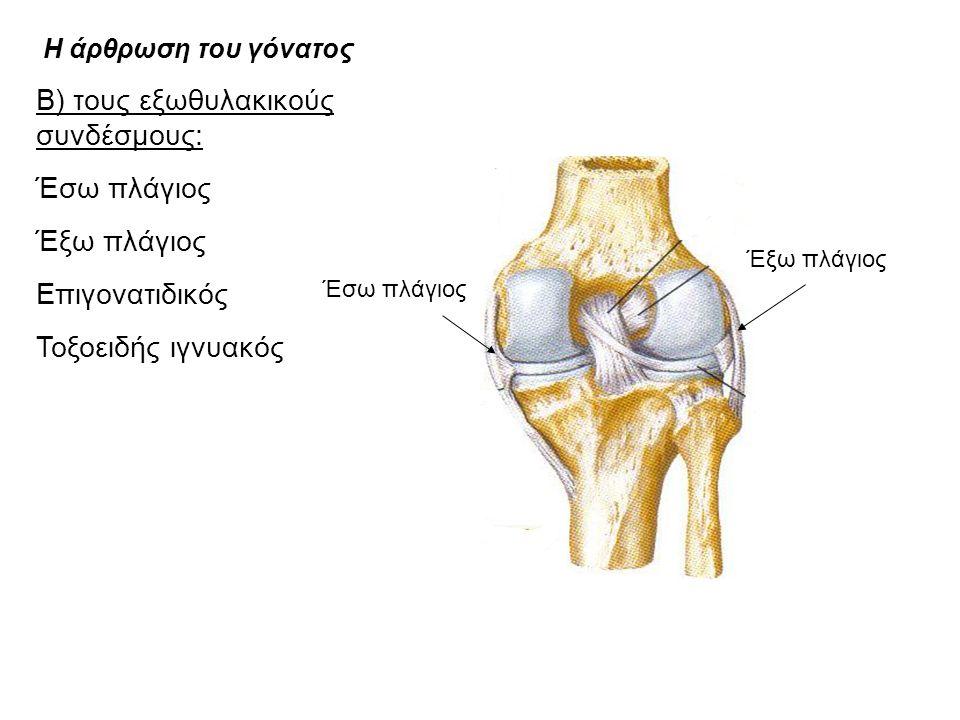 Η άρθρωση του γόνατος Β) τους εξωθυλακικούς συνδέσμους: Έσω πλάγιος Έξω πλάγιος Επιγονατιδικός Τοξοειδής ιγνυακός Έσω πλάγιος Έξω πλάγιος