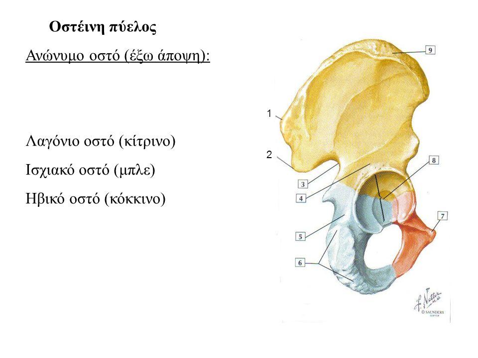 Οστέινη πύελος Ανώνυμο οστό (έξω άποψη): Λαγόνιο οστό (κίτρινο) Ισχιακό οστό (μπλε) Ηβικό οστό (κόκκινο) 1 2