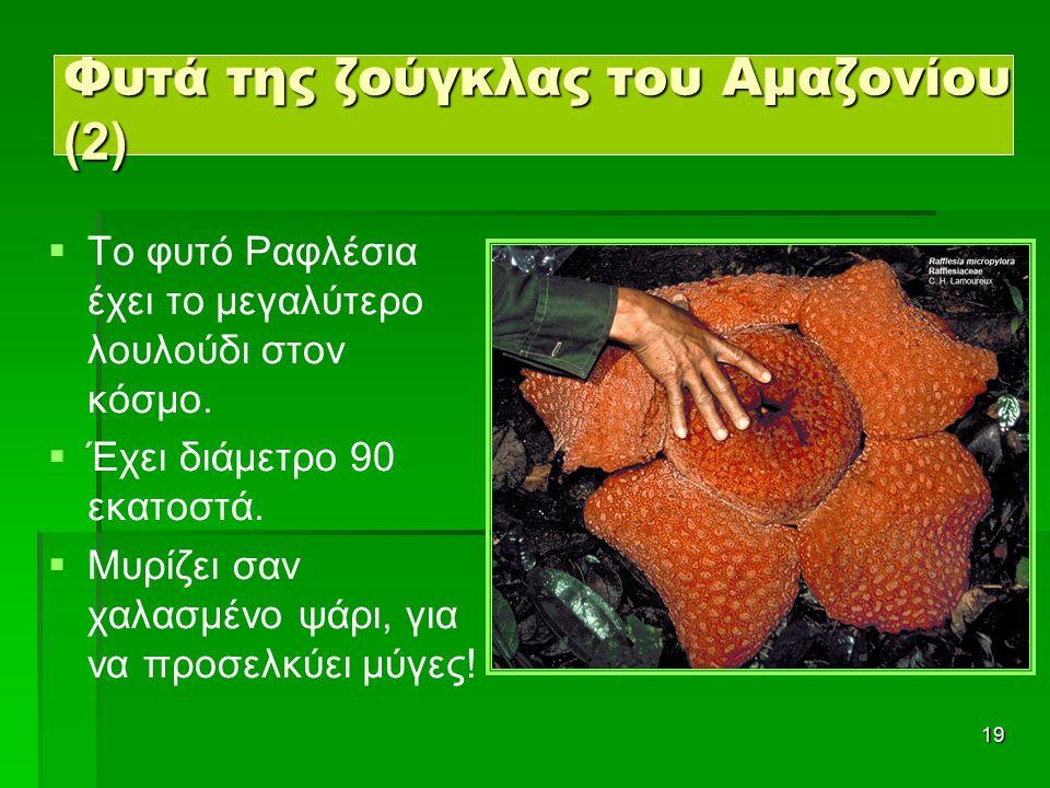 19 Φυτά της ζούγκλας του Αμαζονίου (2)   Το φυτό Ραφλέσια έχει το μεγαλύτερο λουλούδι στον κόσμο.