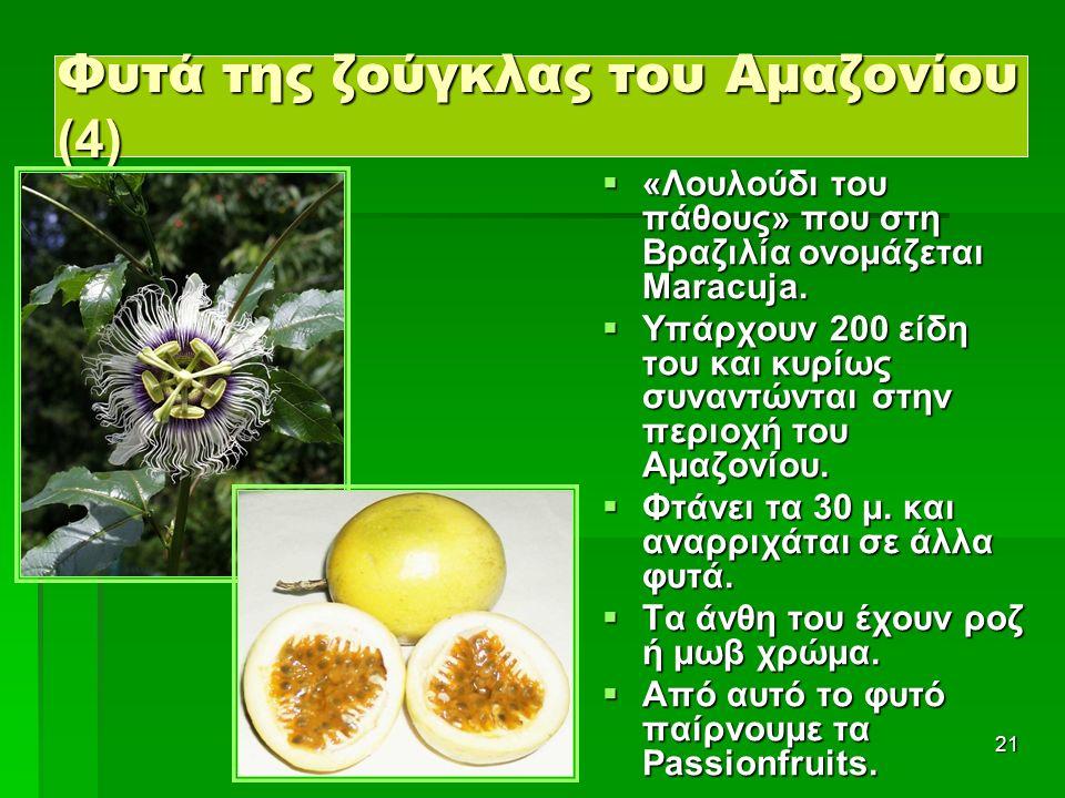 21 Φυτά της ζούγκλας του Αμαζονίου (4)  «Λουλούδι του πάθους» που στη Βραζιλία ονομάζεται Maracuja.