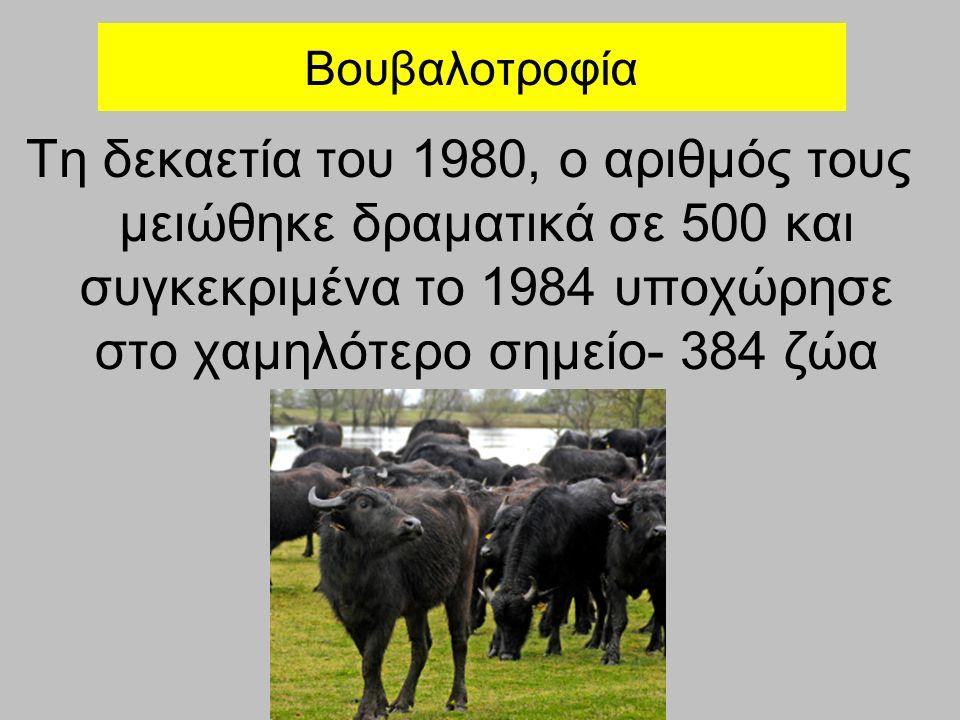 Βουβαλοτροφία Τη δεκαετία του 1980, ο αριθμός τους μειώθηκε δραματικά σε 500 και συγκεκριμένα το 1984 υποχώρησε στο χαμηλότερο σημείο- 384 ζώα