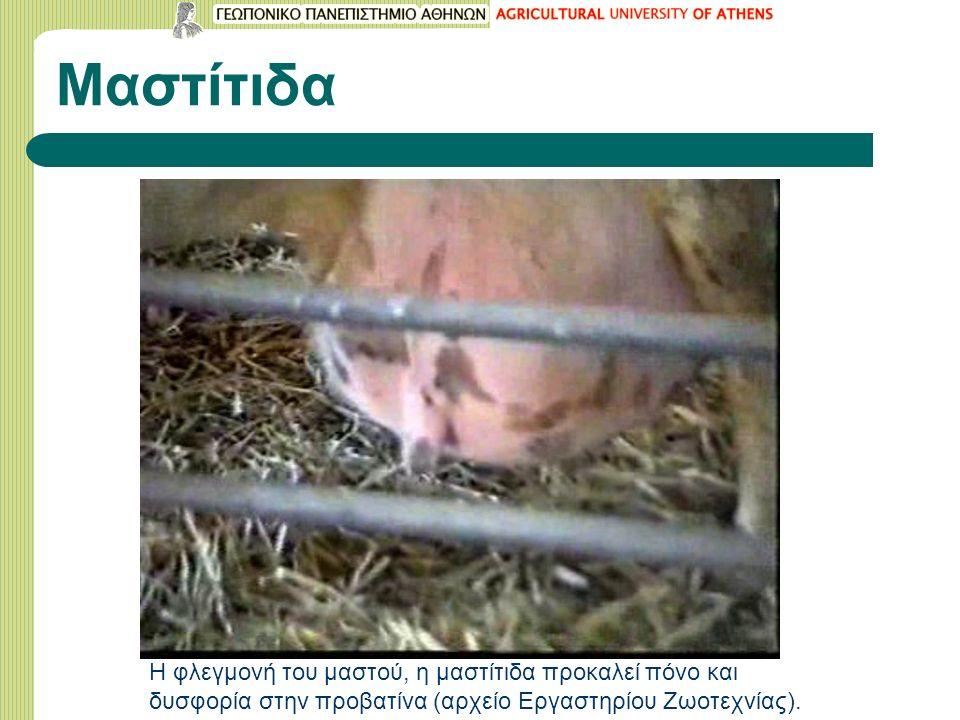 Μαστίτιδα Η φλεγμονή του μαστού, η μαστίτιδα προκαλεί πόνο και δυσφορία στην προβατίνα (αρχείο Εργαστηρίου Ζωοτεχνίας).