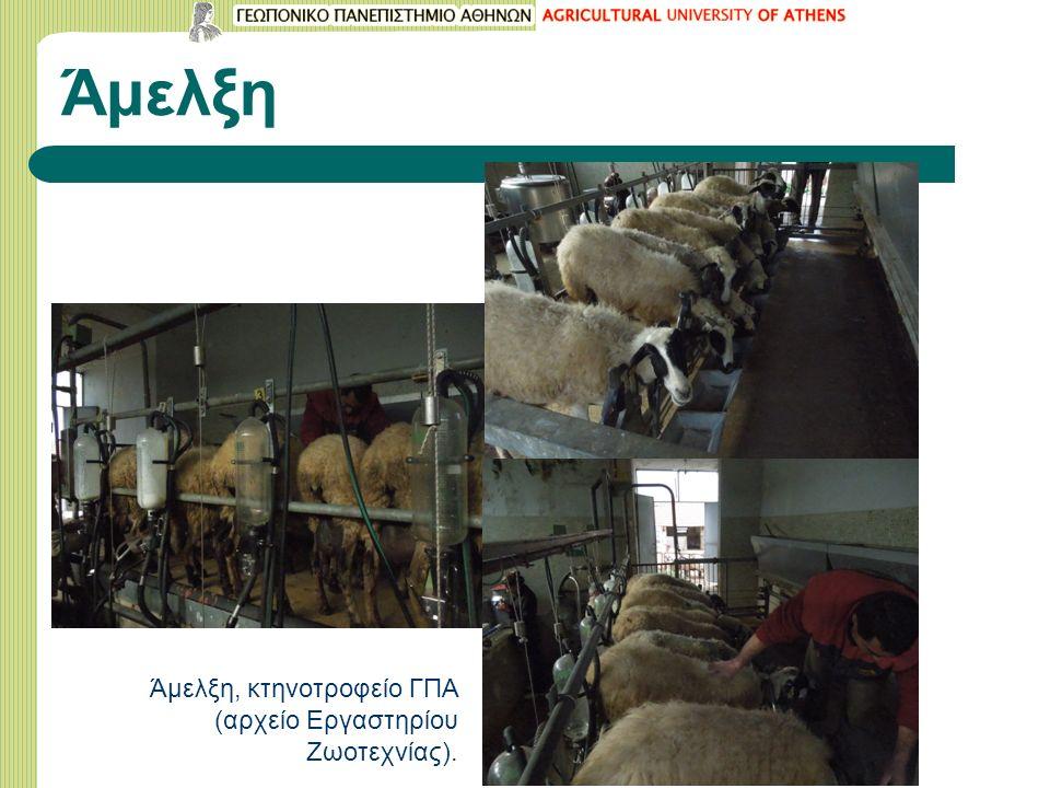 Άμελξη Άμελξη, κτηνοτροφείο ΓΠΑ (αρχείο Εργαστηρίου Ζωοτεχνίας).