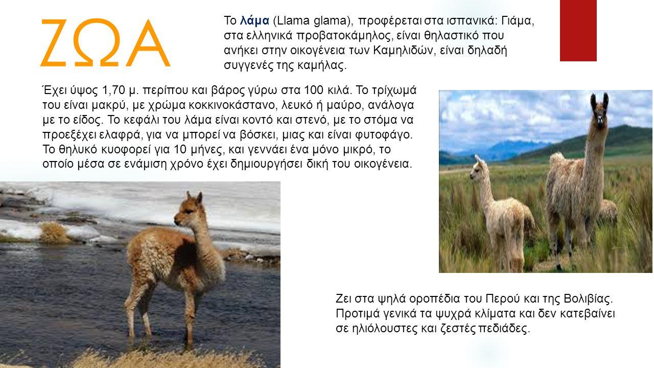 ΖΩΑ Το λάμα (Llama glama), προφέρεται στα ισπανικά: Γιάμα, στα ελληνικά προβατοκάμηλος, είναι θηλαστικό που ανήκει στην οικογένεια των Καμηλιδών, είνα