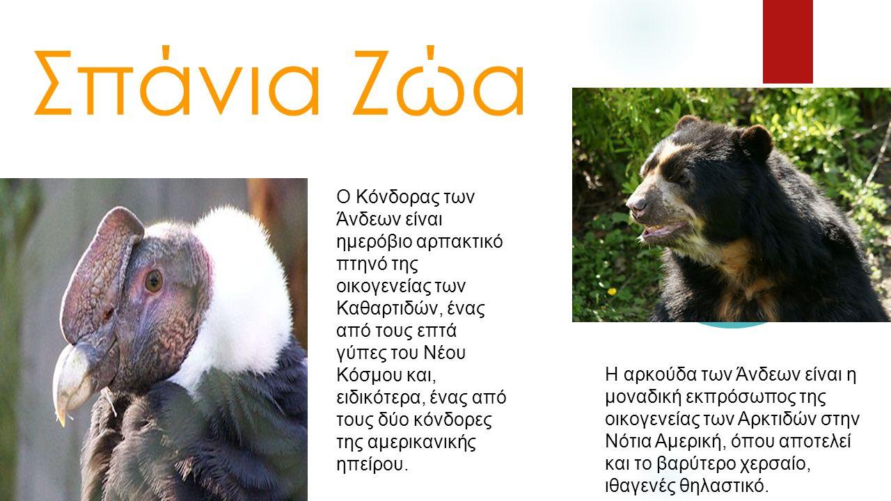 Σπάνια Ζώα Ο Κόνδορας των Άνδεων είναι ημερόβιο αρπακτικό πτηνό της οικογενείας των Καθαρτιδών, ένας από τους επτά γύπες του Νέου Κόσμου και, ειδικότε