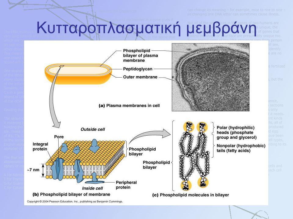 Κυτταροπλασματική μεμβράνη
